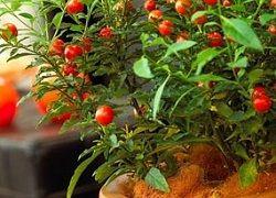 Solanum: cum să organizeze îngrijirea la domiciliu?