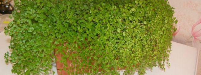 Солейролия: описание цветка, необходимый уход за солейролией, размножение