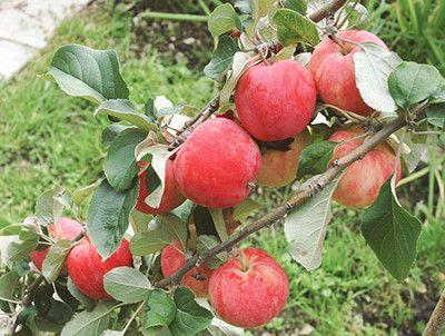 Уход за яблоней сорта Горнист