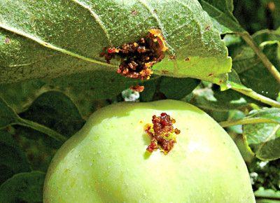 Яблочный пилильщик