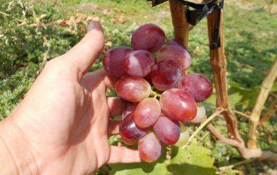 Виноград марсело описание сорта фото отзывы