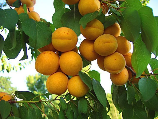 Фото абрикоса