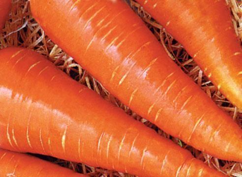 Морковь сорта Московская зимняя А-515