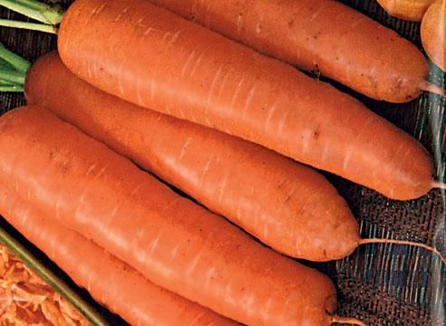 Морковь сорта НИИОХ 336