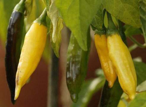Ljuta paprika, žuta Mađarski