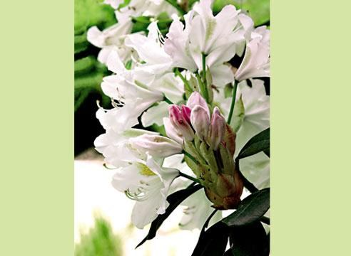 Рододендрон сорта Кюнингейм белый