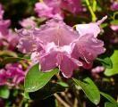 Рододендрон «Praecox» - предвестник весны