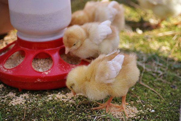 Правилно избран емисия с първите дни на живота ще ви помогне да растат здрави животновъдство