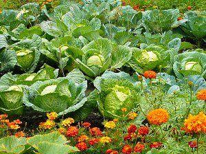 Совместимость растений на огороде!