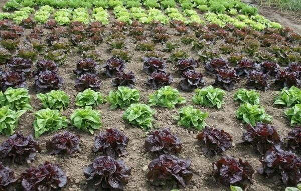 Rastlinski pridelki - solata