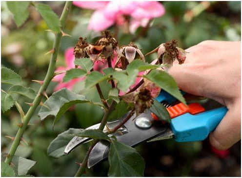 Pogoji obrezovanje vrtnic