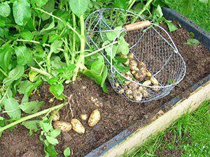 Сбор молодого картофеля на грядках