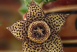 Цветы стапелия