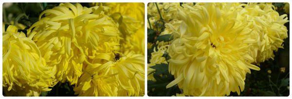 Grandiflorum Chrysanthemum razred luči Pekingu