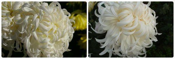 Krizantema grandiflora sorta Beli pudelj
