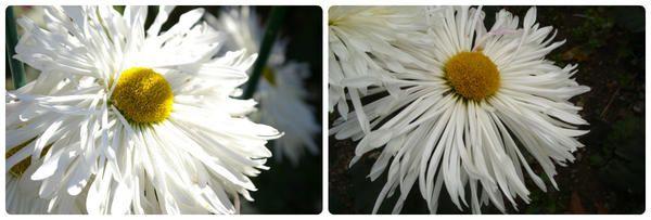 Krizantema grandiflora sorta Sneguljčica