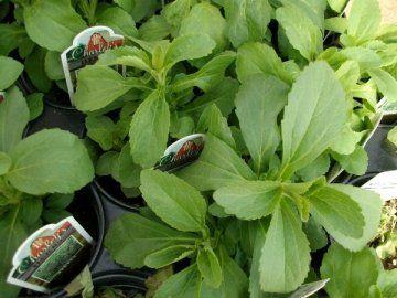 Stevia - rastlina, ki je sladilo