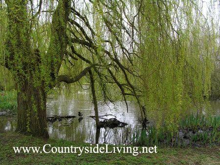 Ribnik v naravnem (divji) park Isabella Plantation (del Richmond Park, London) (Isabella nasad)