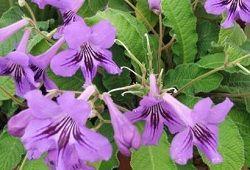 Стрептокарпус – достойный конкукрент среди цветущих