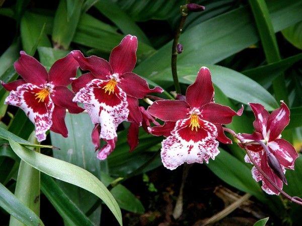 Orchid Miltonia razmnoževanje