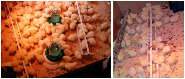 Суточные цыплята бройлеры учатся пользоваться кормушкой