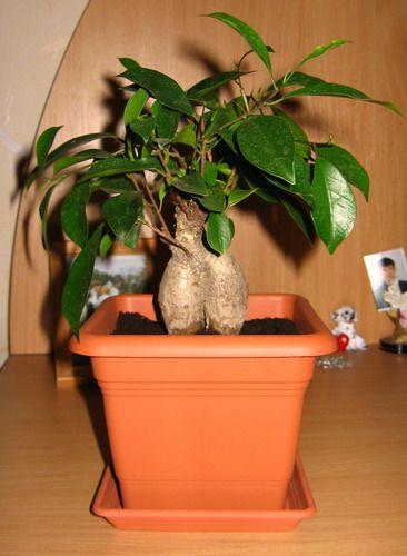 Tako različni Ficus