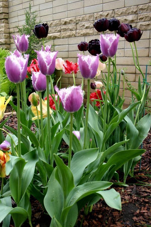 Tulipani in sodoben slog