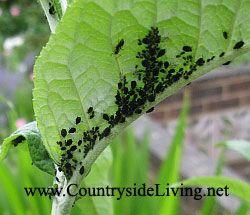 черни листни въшки