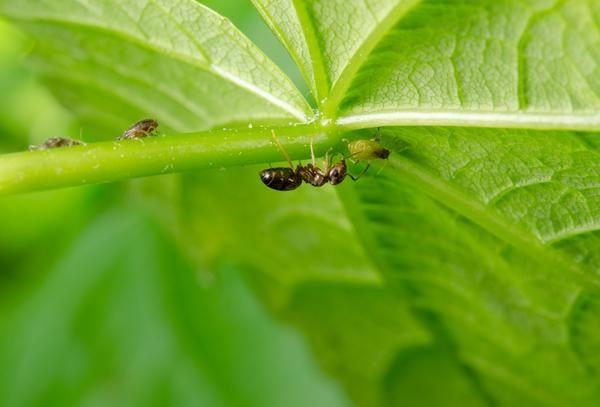 Ant на фишове