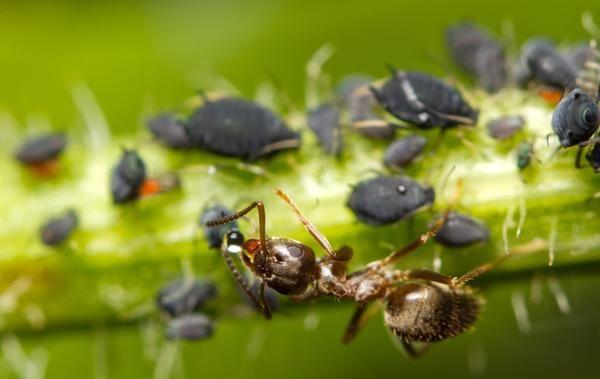 Ant яде манов