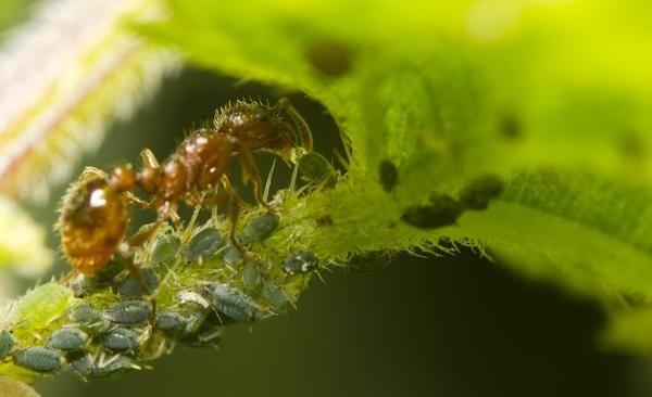 Ant носи листни въшки