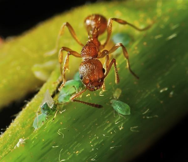 Ant събира листни въшки