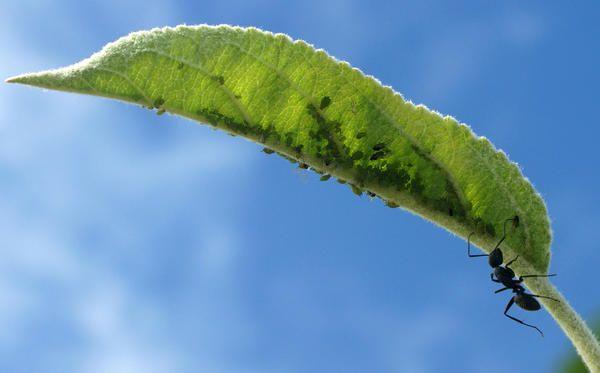 Листни въшки върху младите листа на плодно дръвче