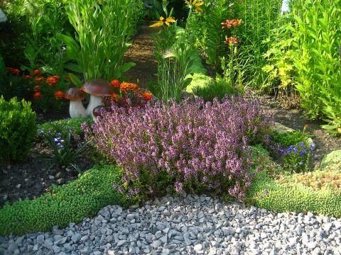 Трава чабрец – так и просится в огород
