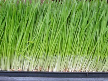 Трава лимонник: выращивание в домашних условиях и ее бытовое применение