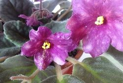Thrips o pokojové rostliny: preventivní a kontrolní opatření