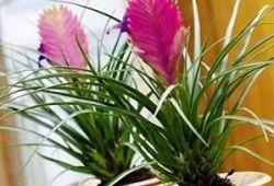 Tillandsia tropicale: de îngrijire la domiciliu