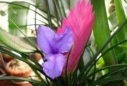 floare Tillandsia