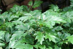 Тропический циссус с роскошной листвой