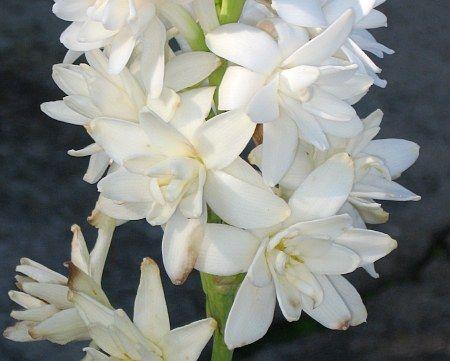 Ali tuber tuberoze polianthes