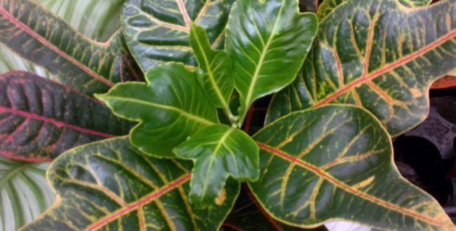 V Croton listov posuši in odpade: vzroki, kaj storiti?