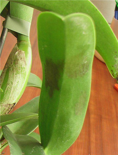 У моих орхидей на окне внезапно появились черные пятна на листьях. Они заболели?