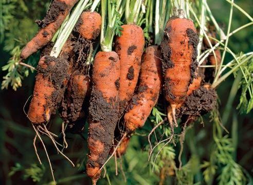 Морковь, плоды, Daucus