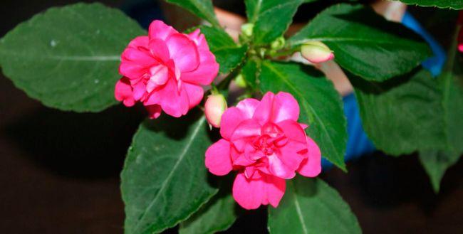 Za Balsam cvet nego na domu