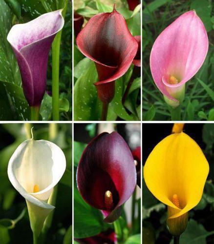 Родина цветка калла