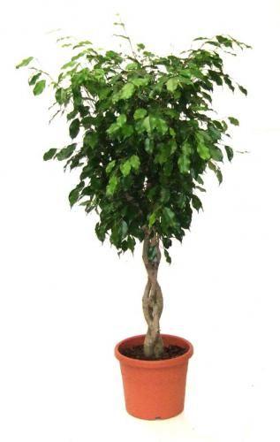 Nega Ficus: fotografije in navodila