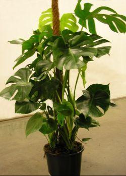 Уход за филодендроном - создать тропики дома