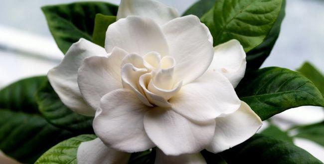 Nega Gardenia jasminoides doma