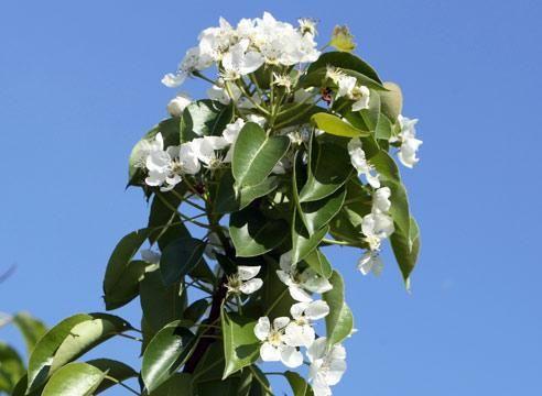 Груша, цветение, Pyrus communis