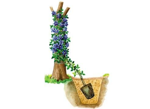 Клематис, посадка, декорирование сухого дерева